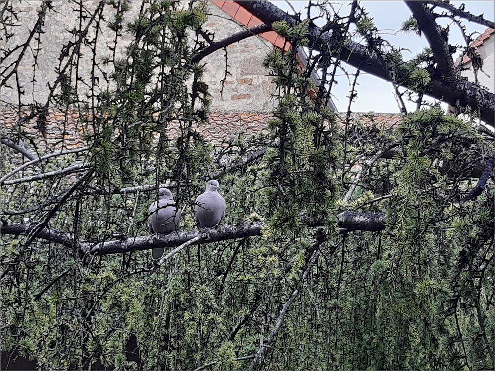 ..Dans le jardin, un petit couple de tourterelles..