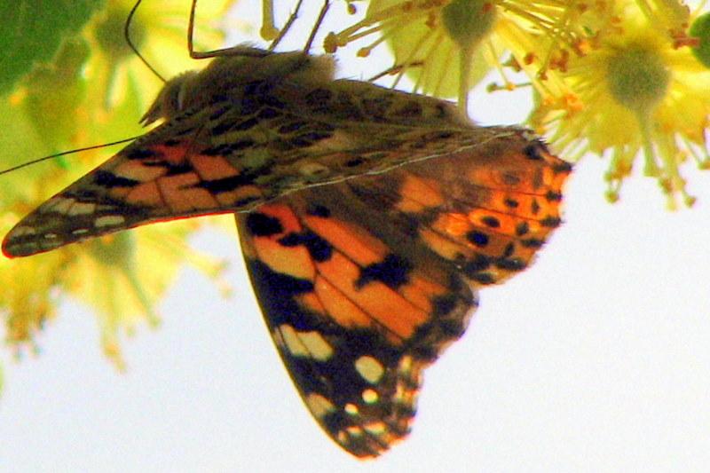 Dans le tilleul, un papillon qui fait ses provisions
