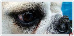 Dans l'oeil de ma Bulldog