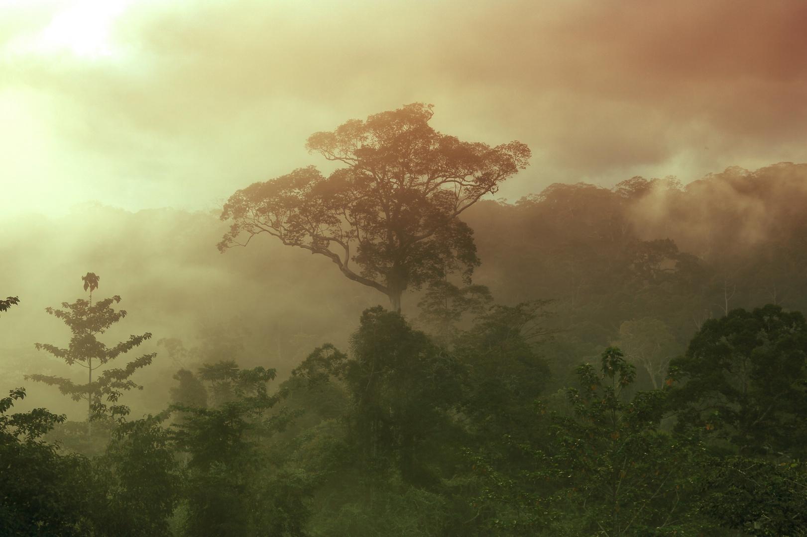 Danum Valley - Sabbah / Borneo - Morning Fog Scene