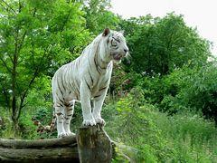 Darf ich Euch den  Papa von unserem kleinen Tigermädchen  vorstellen