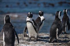 Darf ich vorstellen... afrikanischer Pinguin
