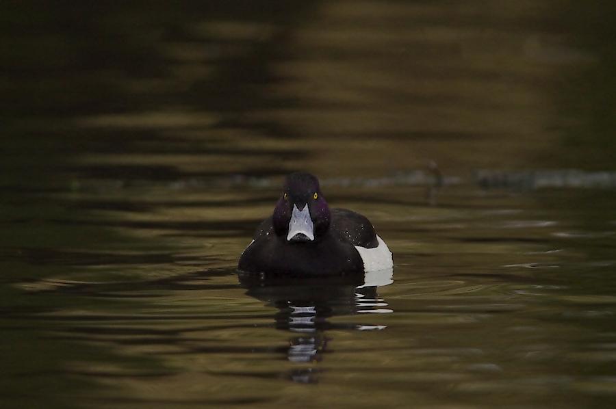 Dark Erpel - The Duck Menace