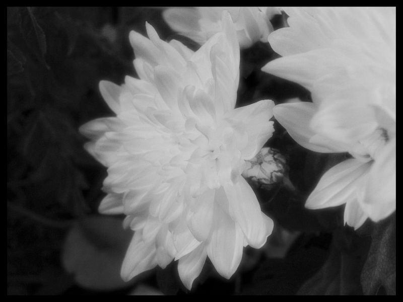 Dark Flower...
