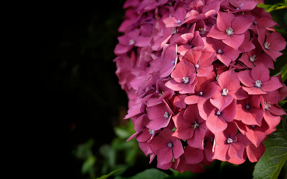 Dark Pink Hydrangea Photo Image