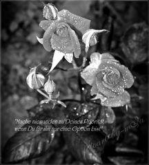 dark rose.............