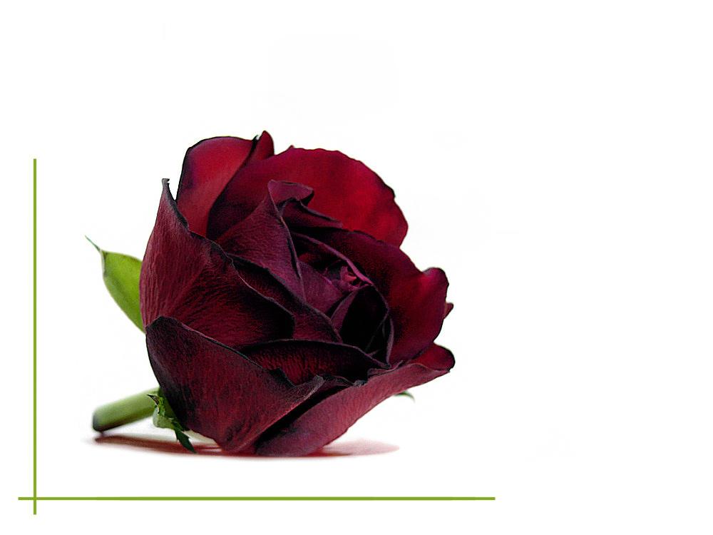 Dark vinous rose