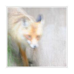 Darß - Fuchs