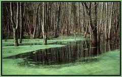 - Darßer Urwald -