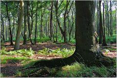 Darßer Urwald (11)