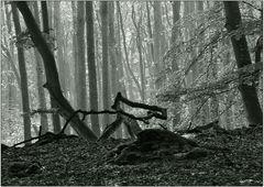 Darßer Urwald (12)
