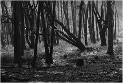 Darßer Urwald (14)