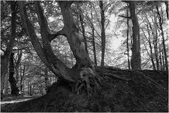 Darßer Urwald (19)