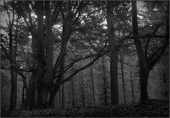 Darßer Urwald (2)
