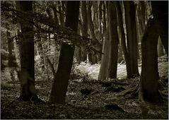Darßer Urwald (4)
