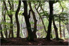 Darßer Urwald (5)