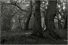 Darßer Urwald (7)