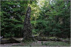 Darßer Urwald (8)