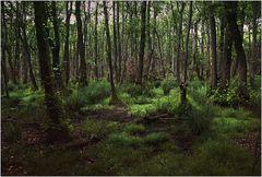 Darßer Urwald (9)