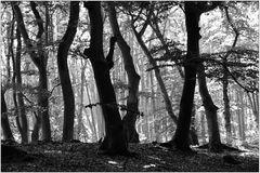 Darßer Wald (5) sw