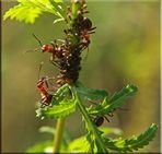 Das Ameisen - Dinner 2