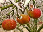 Das Apfeltrio (1)