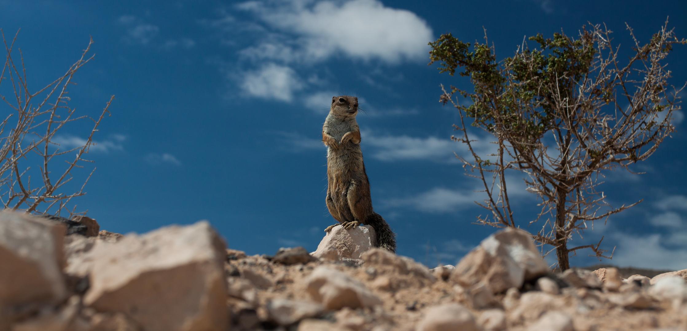 Das Atlashörnchen
