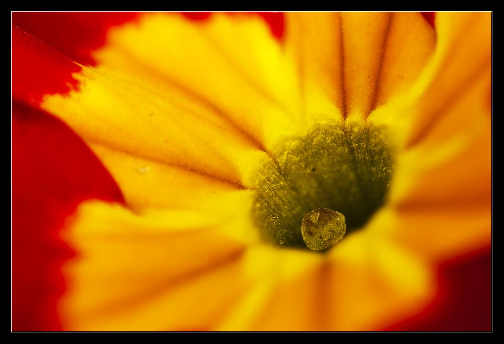 Das Auge der Primula ...