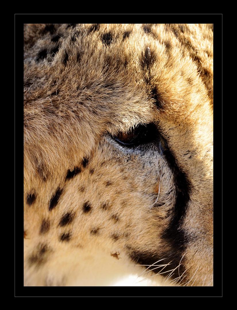Das Auge des Geparden