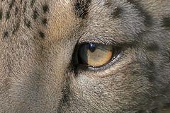 Das Auge des Leoparden