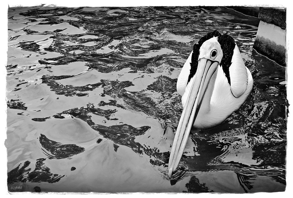 Das Auge des Pelikans