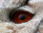 Das Auge des Sibirischen Uhu