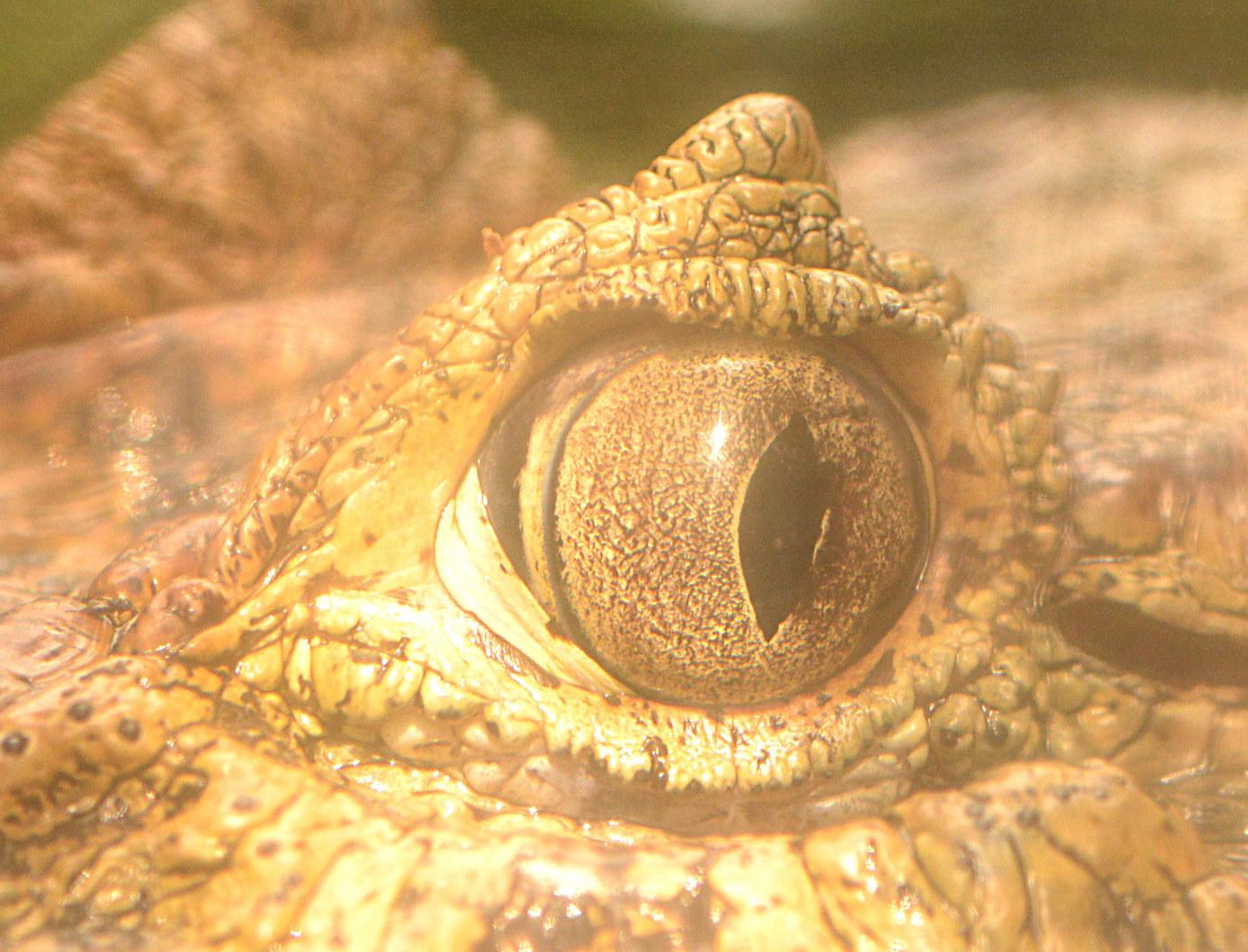 Das Auge eines Breitschnauzenkaimans