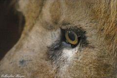 Das Auge vom König der Tiere
