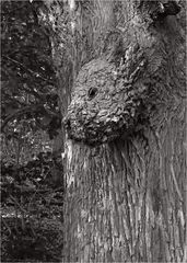 Das Baumkälbchen ...