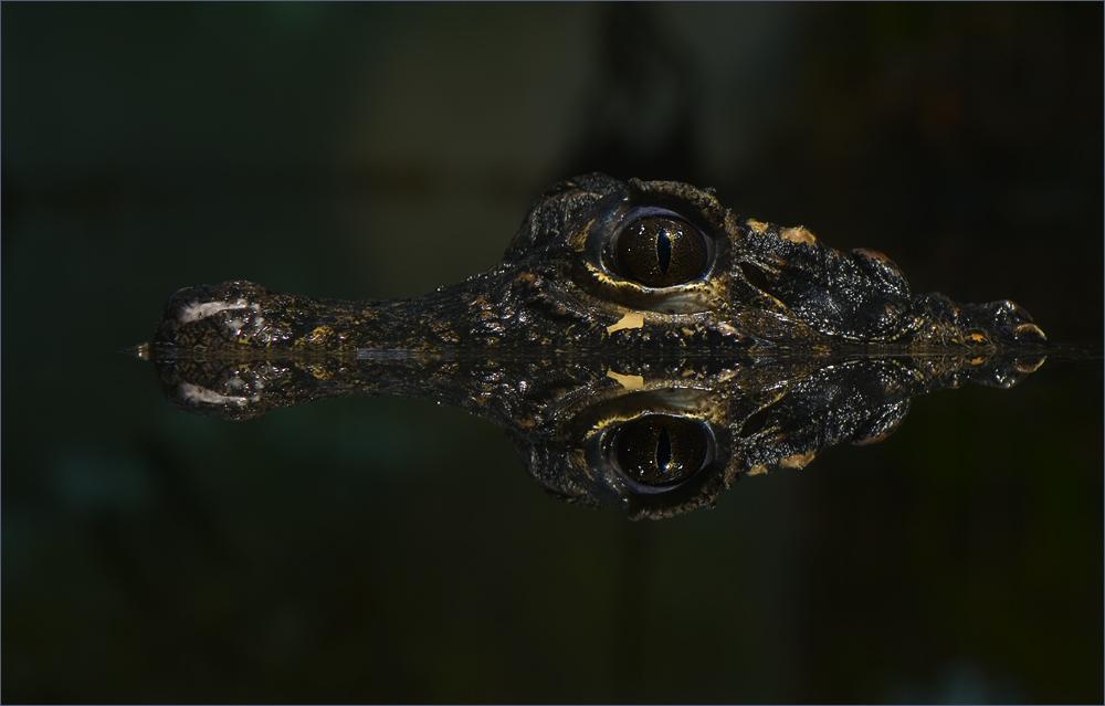 Das Berner Krokodil