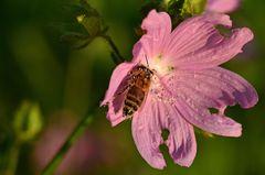 Das Bienchen auf der Moschusmalve