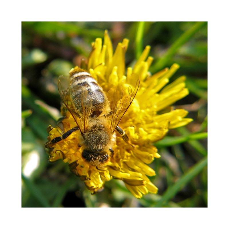 Das Bienchen und das Blümchen