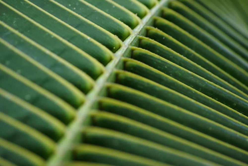 Das Blatt der Palme