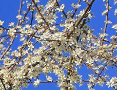 Das blaue Band des Frühlings