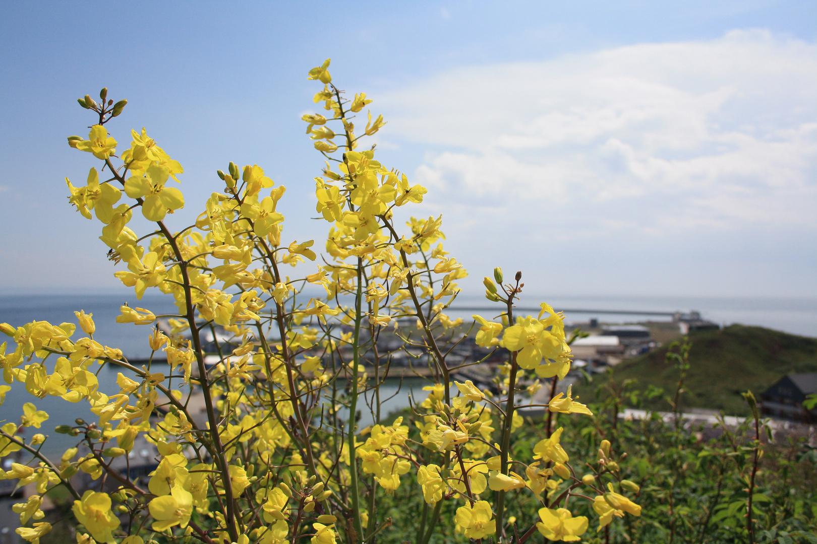Das blühende Helgoland