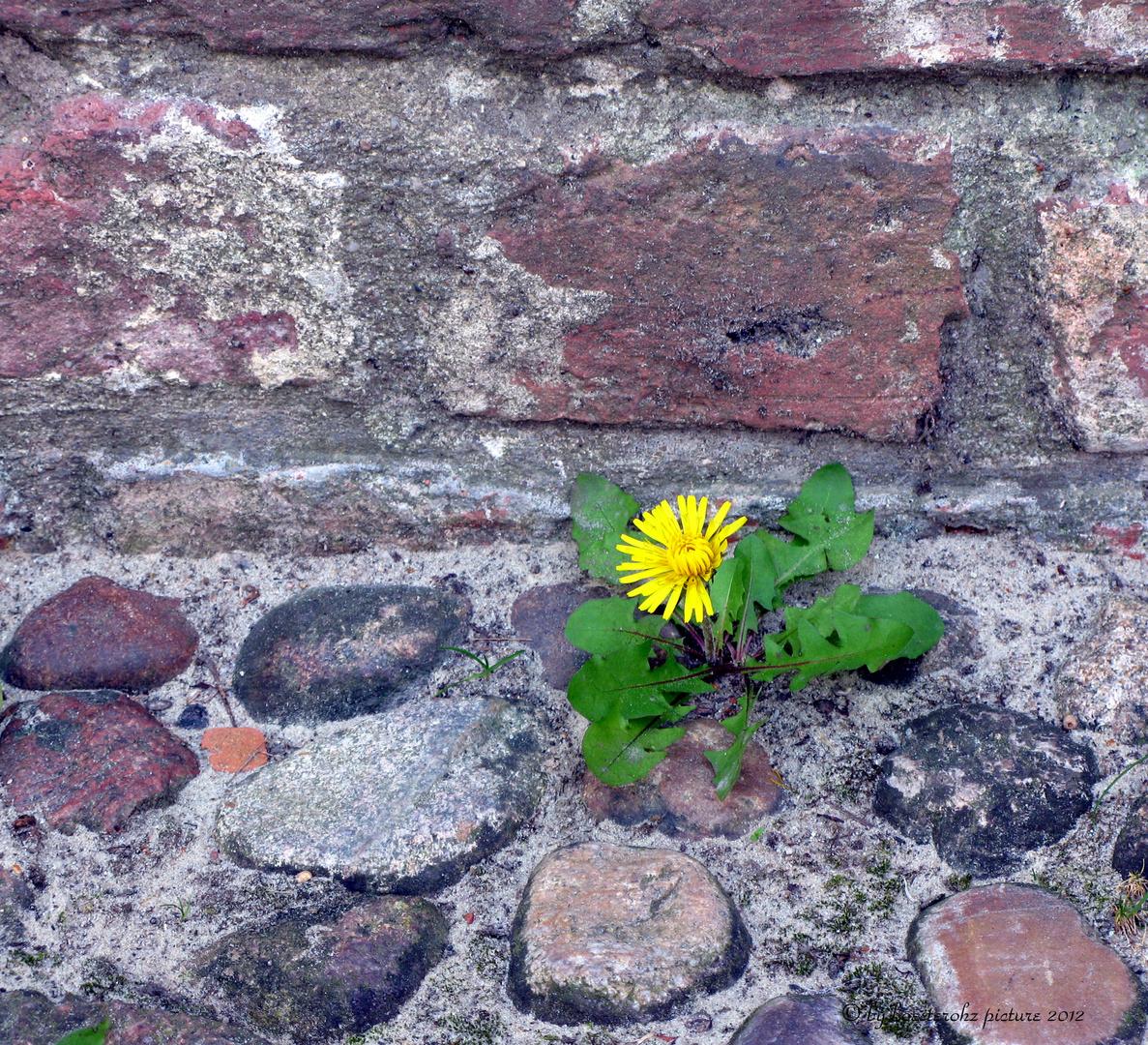 Das Blümchen an der Mauer