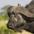 Das Büffeltaxi