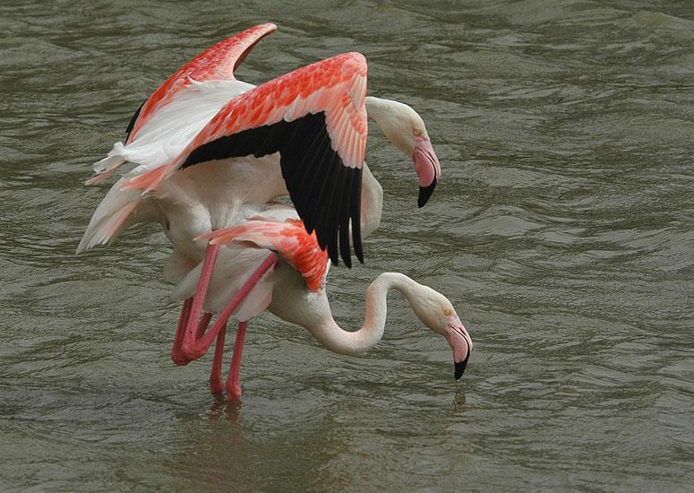 Das bunte Treiben der Flamingos...