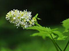 Das Christophskraut (Actea spicata)