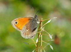 Das edle kleine Wiesenvögelchen (Coenonympha pamphilus) - Le Petit Papillon des foins.