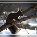 Das Eichhörchen.