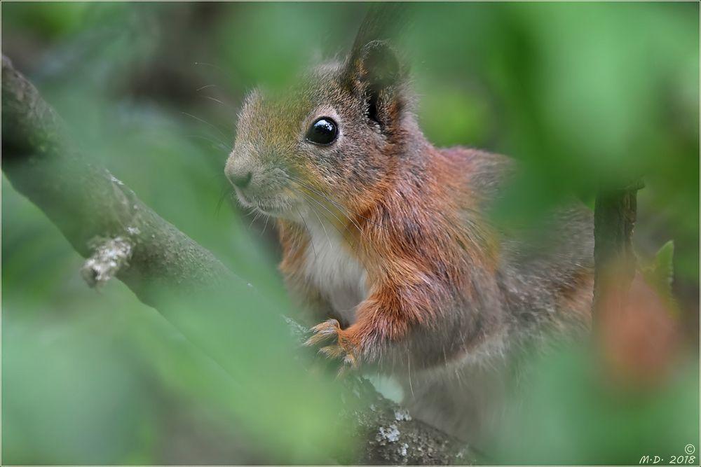 Das Eichhörnchen ...