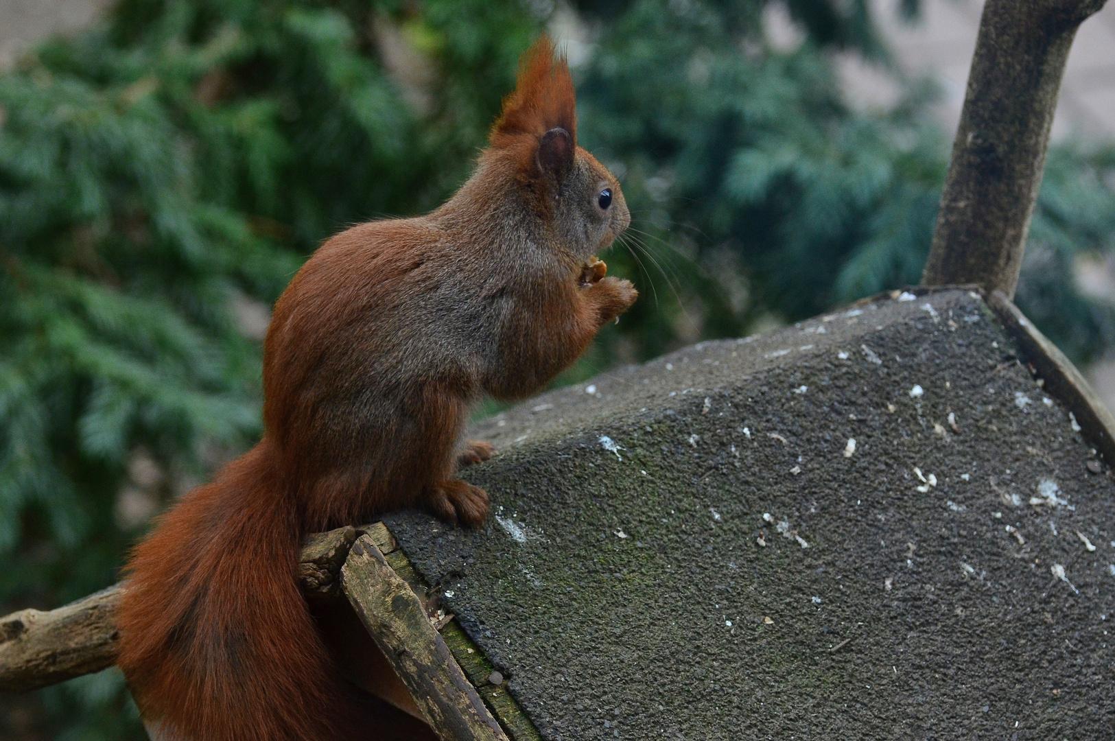 Das Eichhörnchen.....