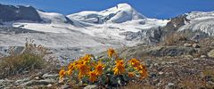 Das Einköpfige Kreuzkraut zählt im Wallis zu den größten botanischen Raritäten...